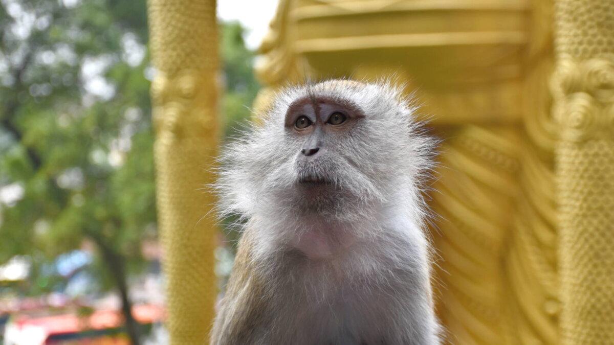 Длиннохвостая обезьяна - макак-крабоед