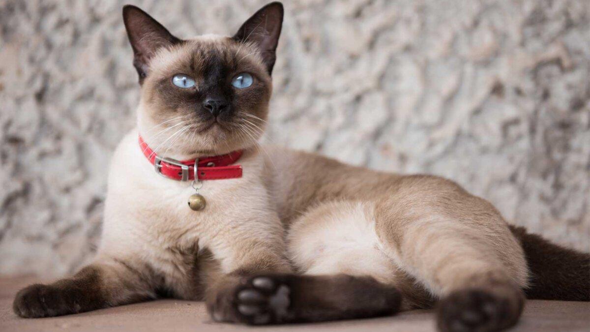 Сиамская кошка в красном ошейнике
