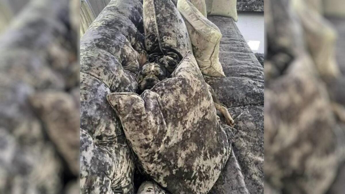 Собака с необычным окрасом научилась прятаться от хозяев на диване