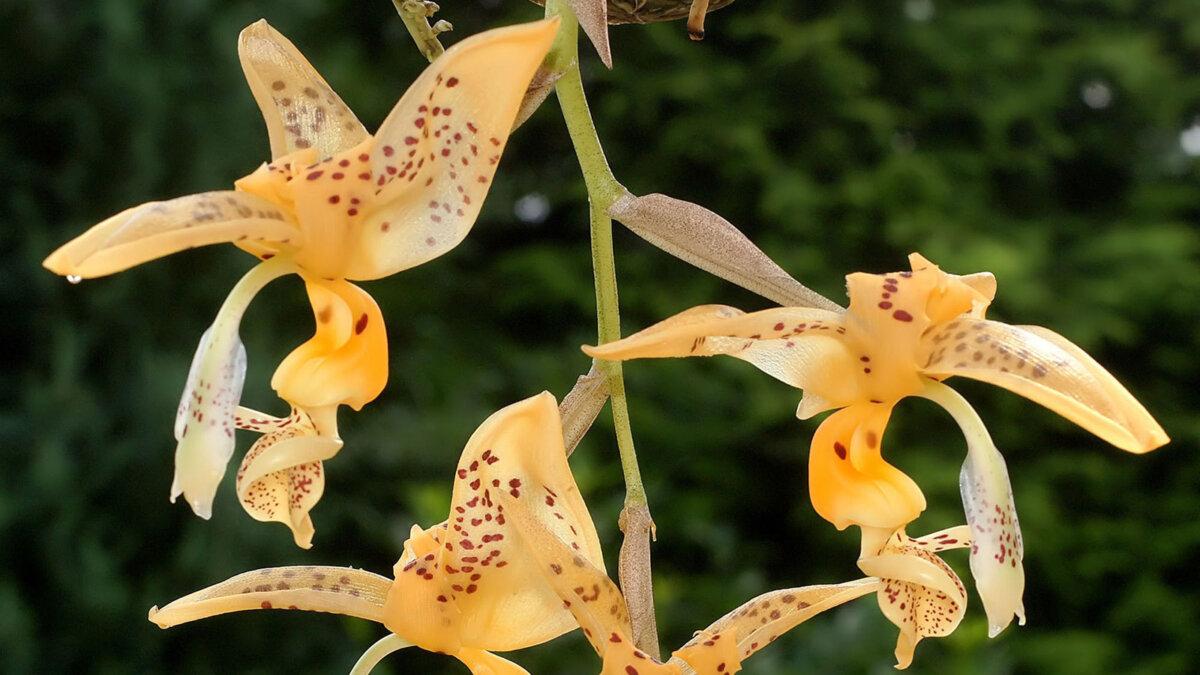 орхидея-бык Стангопея Йениша Stanhopea jenischiana