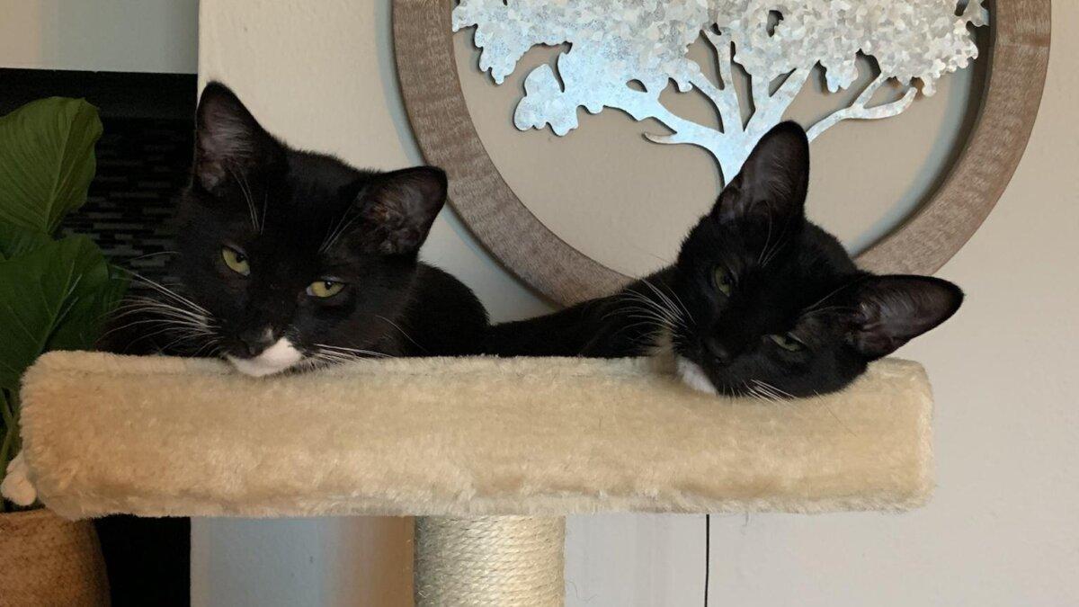 черные кошки близнецы лежанка