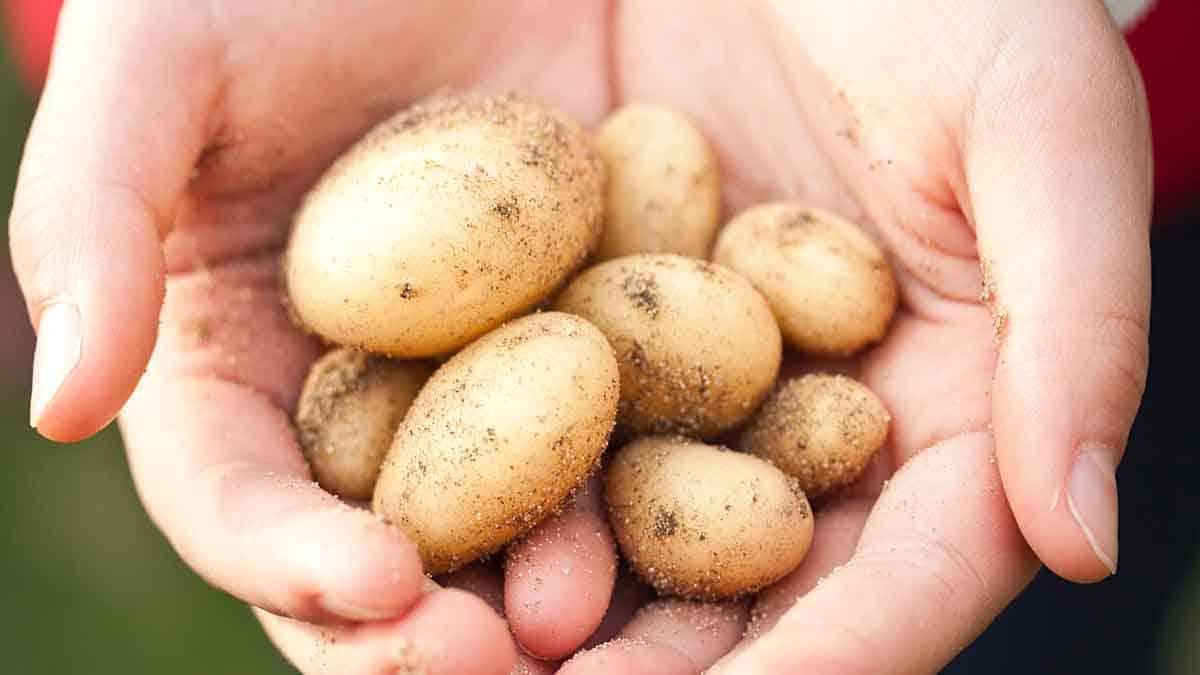 мелкая картошка в руках