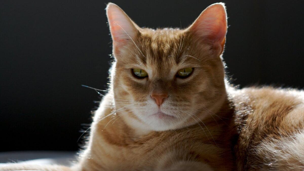 рыжий кот кровать