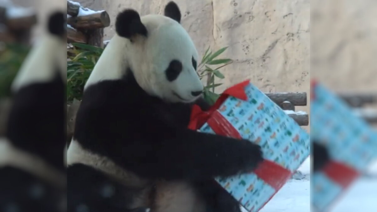 панда московский зоопарк подарок