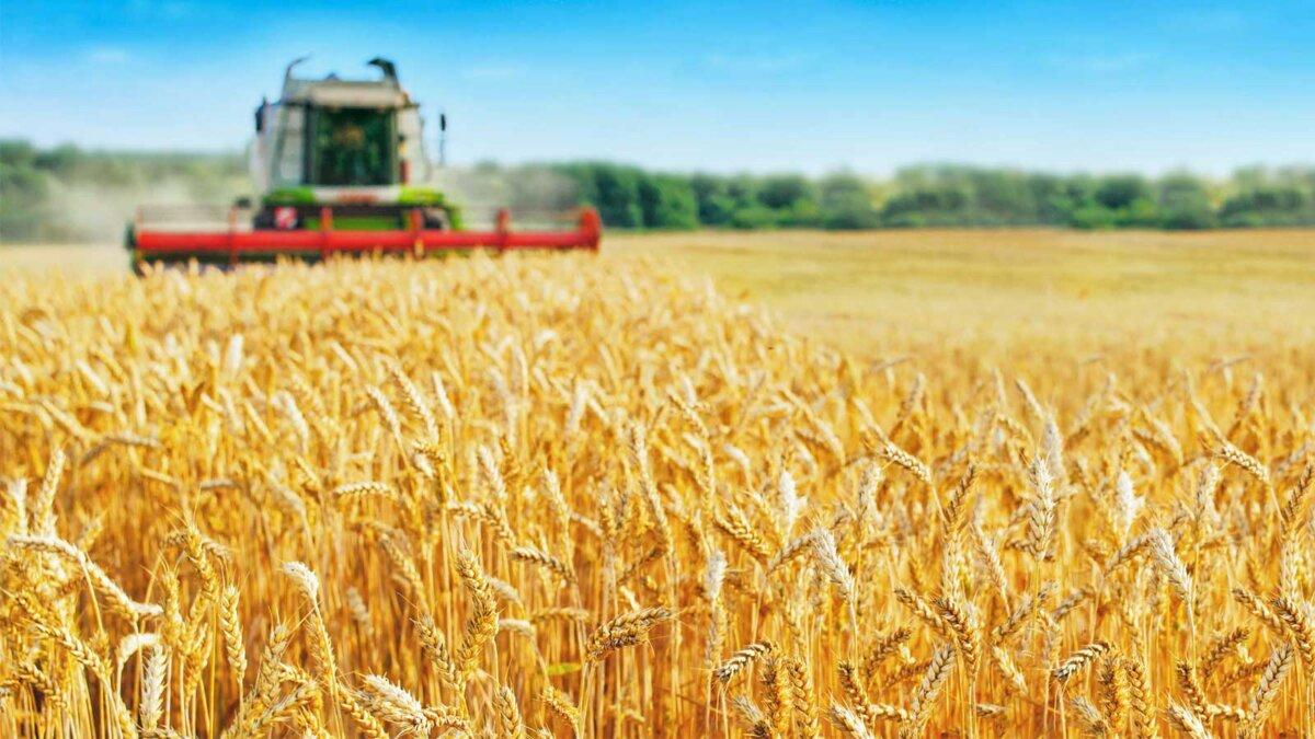 поле пшеница трактор