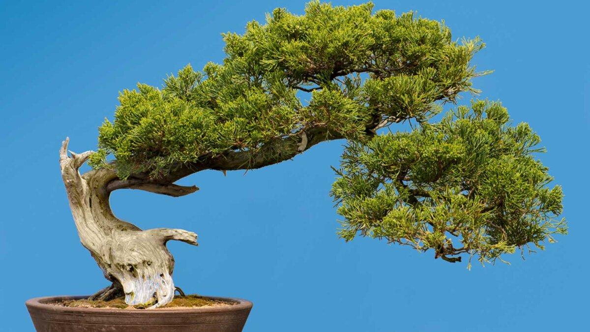сад бонсай дерево горшок