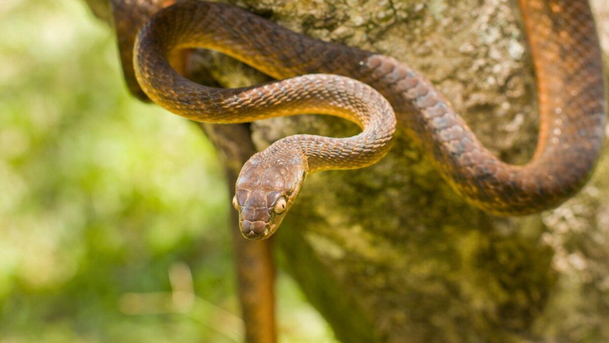 Змея коричневая бойга - Brown tree snake