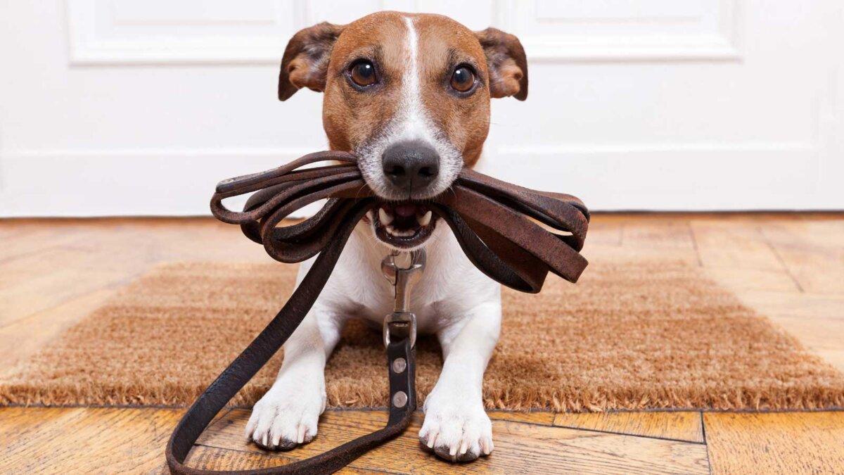 собака с кожаным поводком ждет, чтобы пойти прогулки