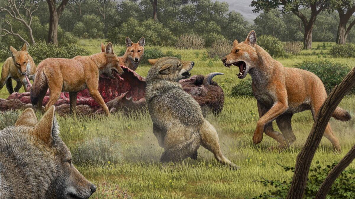 ужасные волки Canis dirus отгоняющие серых волков от туши бизона