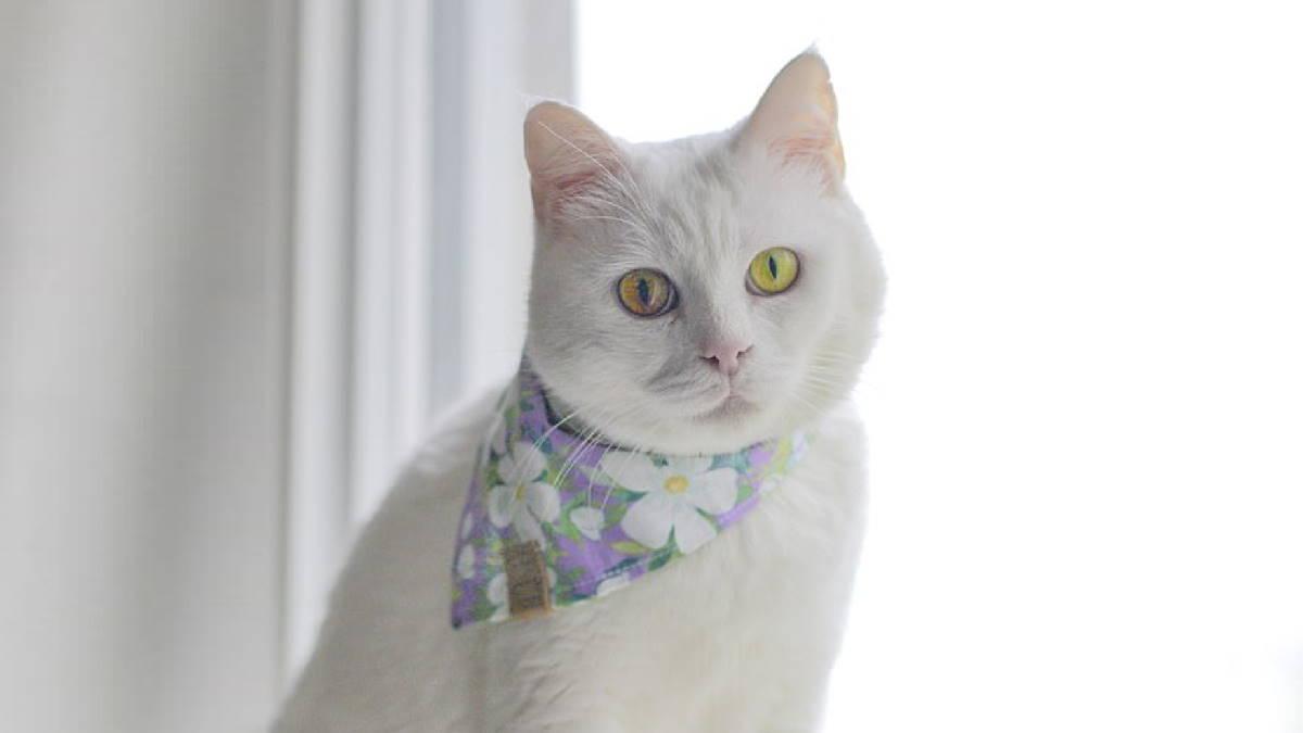 Кошка Айвори меняет цвет глаз