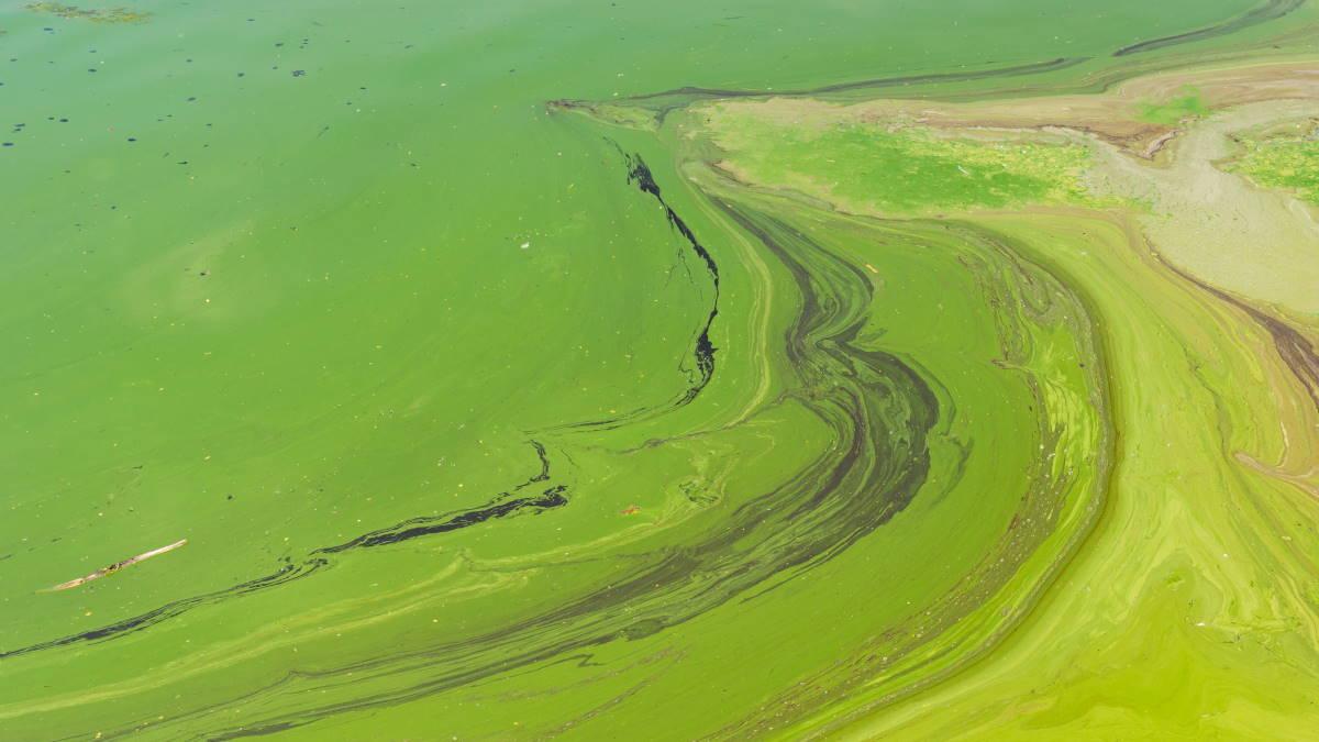 Цианобактерии сине-зеленые водоросли в реке