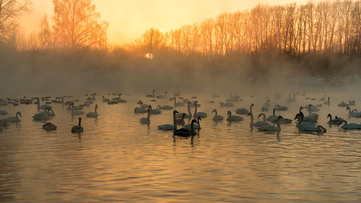лебеди озеро птицы закат туман птицы