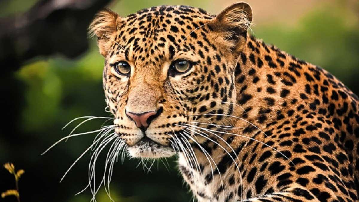 Леопард смотрит
