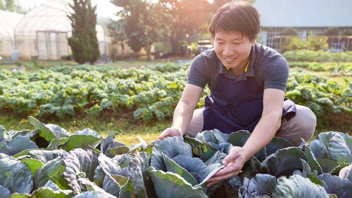 Мужчина работает в огороде капуста