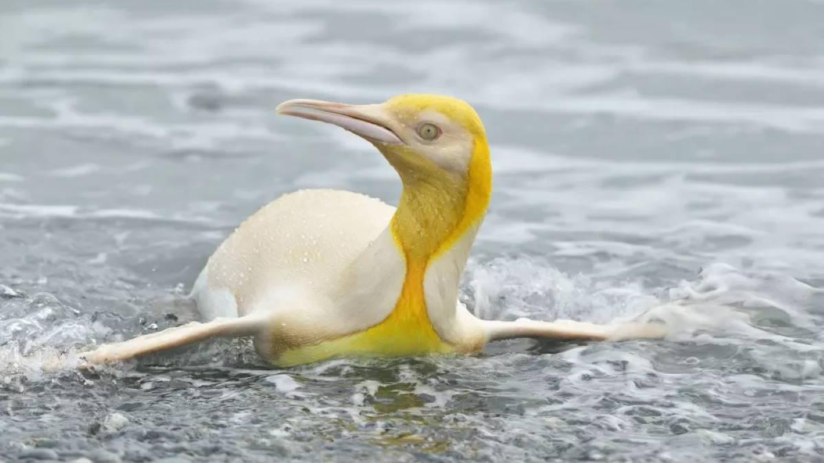 Жёлтый пингвин