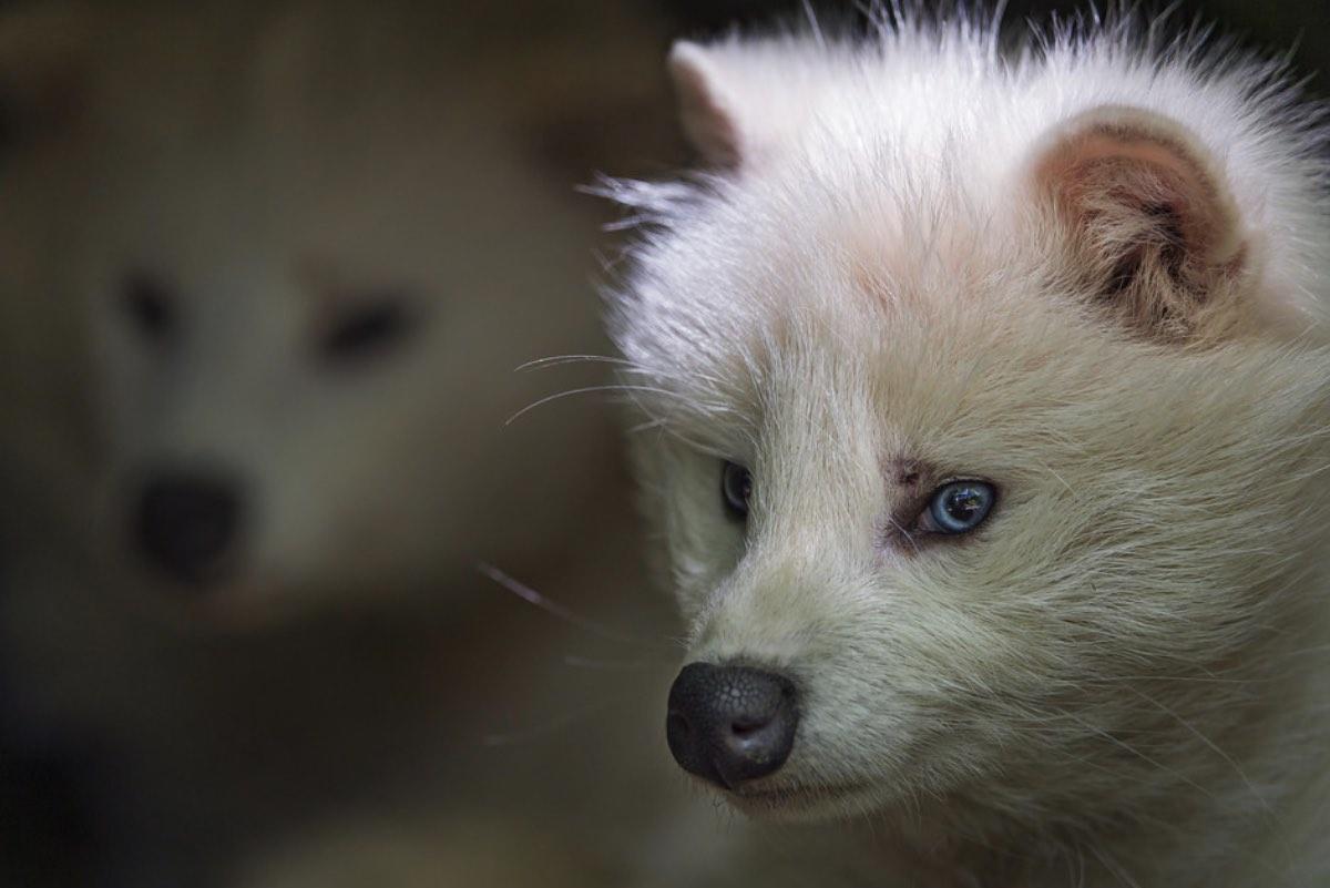 енотовидная собака альбинос