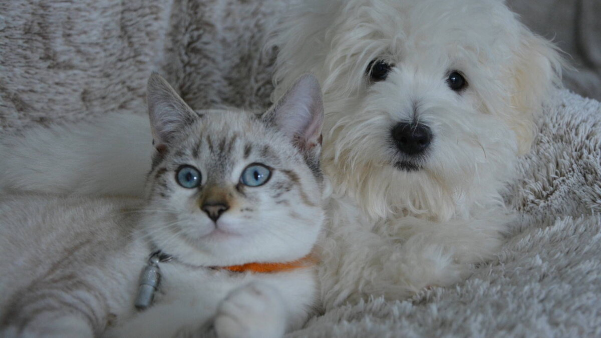 кошка и собака на диване