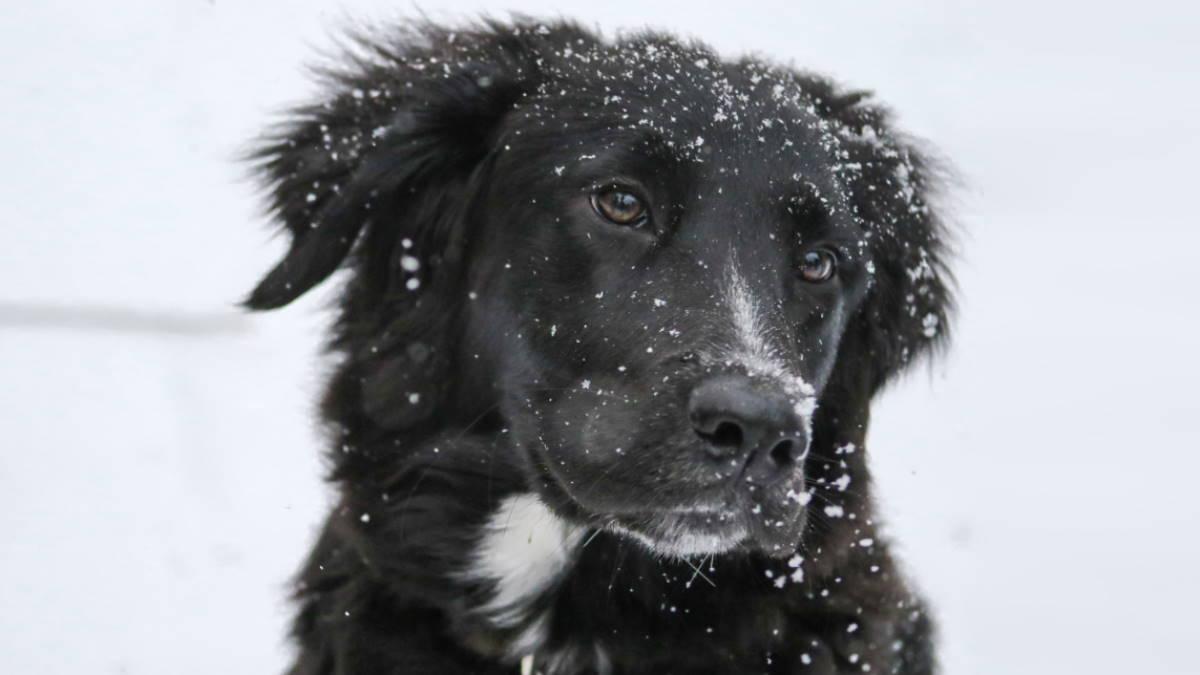 собака зима снег метис черный лабрадор и бордер колли