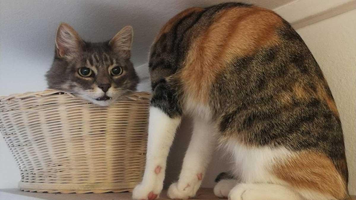 Кот без головы корзинка два кота
