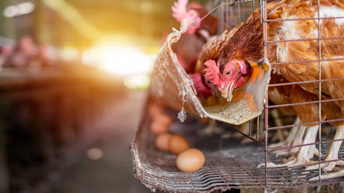фабрика курица яйцо