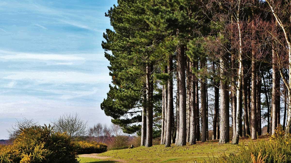 деревья сосны тропинка небо