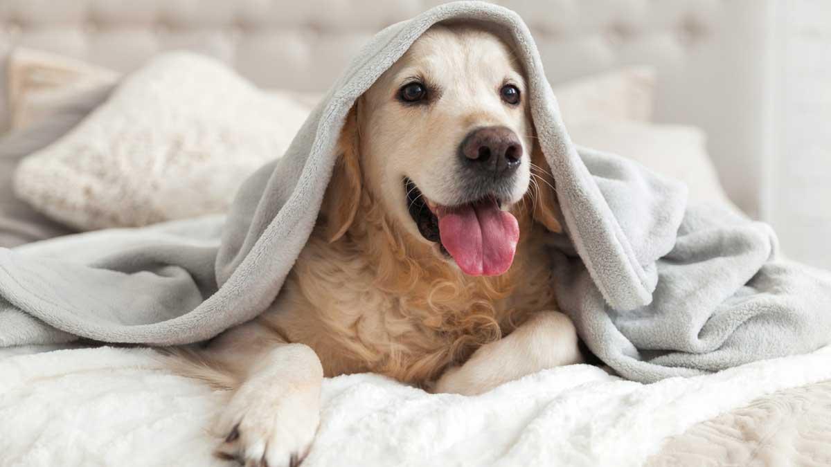 собака дома на кровати