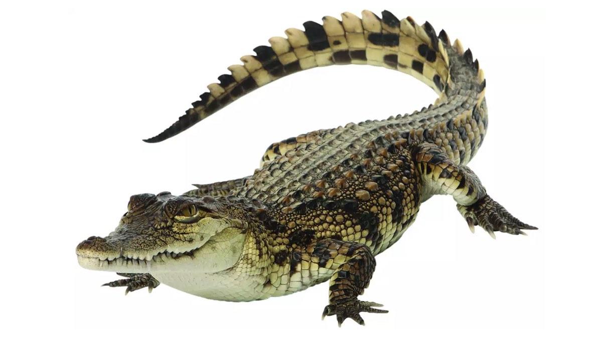 рейтинг убийц – крокодил
