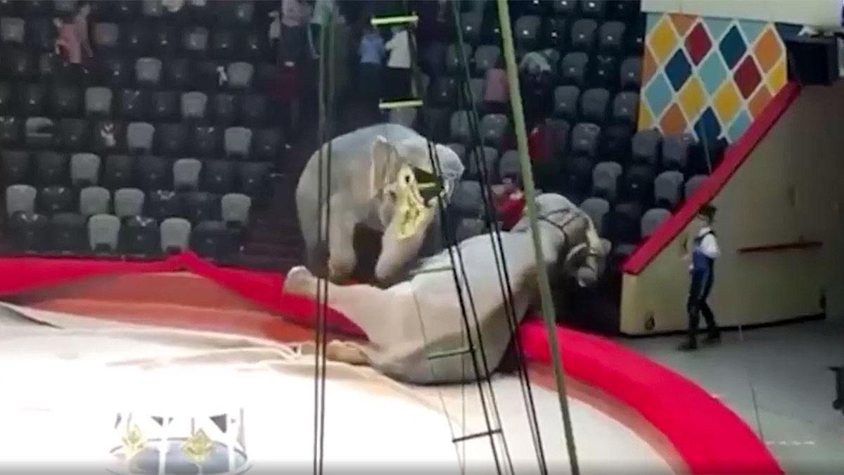слоны подрались во время представления