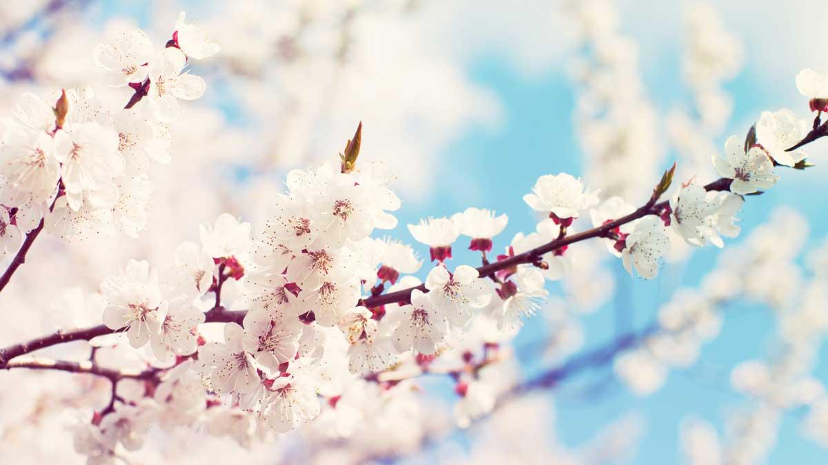 весна дерево цветет
