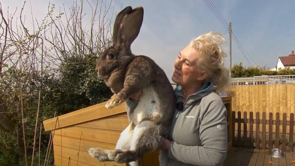 кролик Дариус