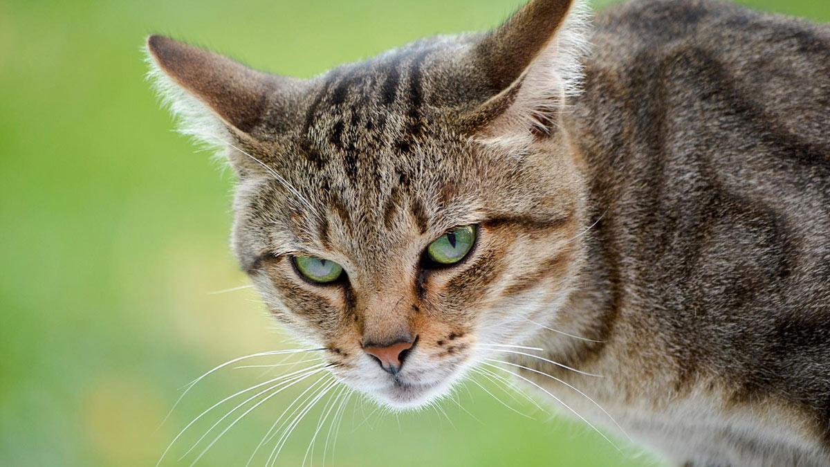 кошка злой взляд