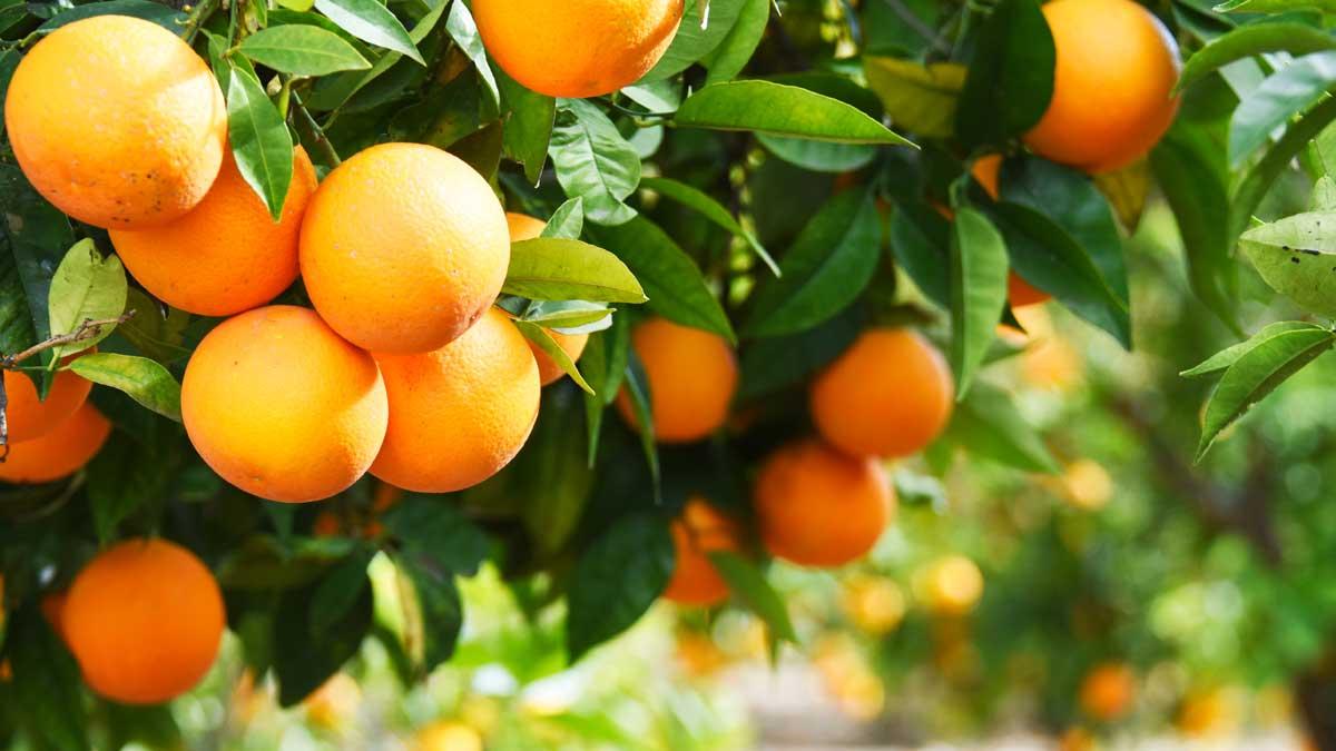 oranges апельсины на ветке