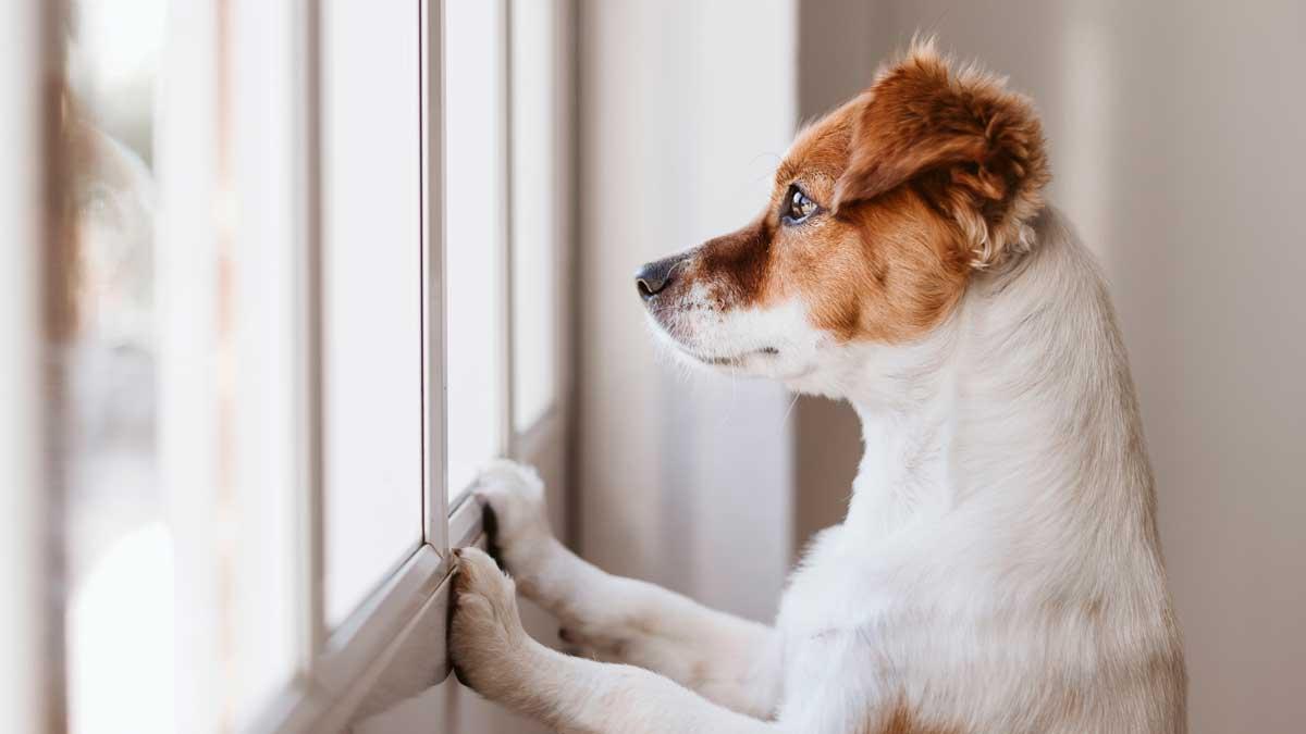 собака дома смотрит в окно