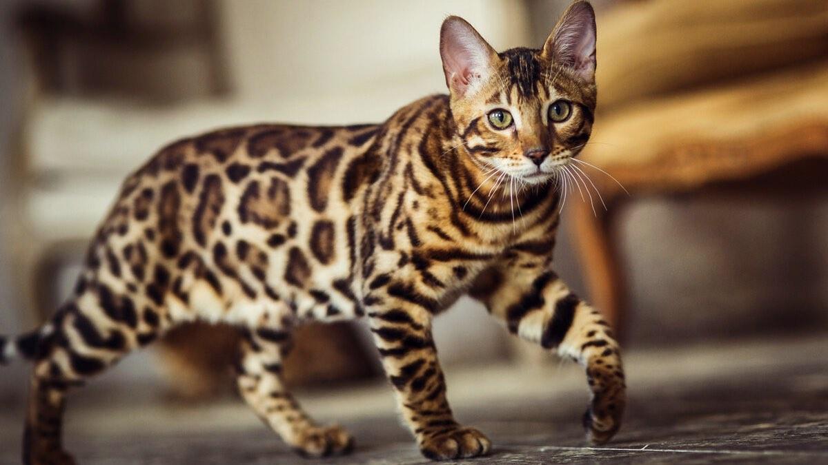 умные кошки - бенгальская
