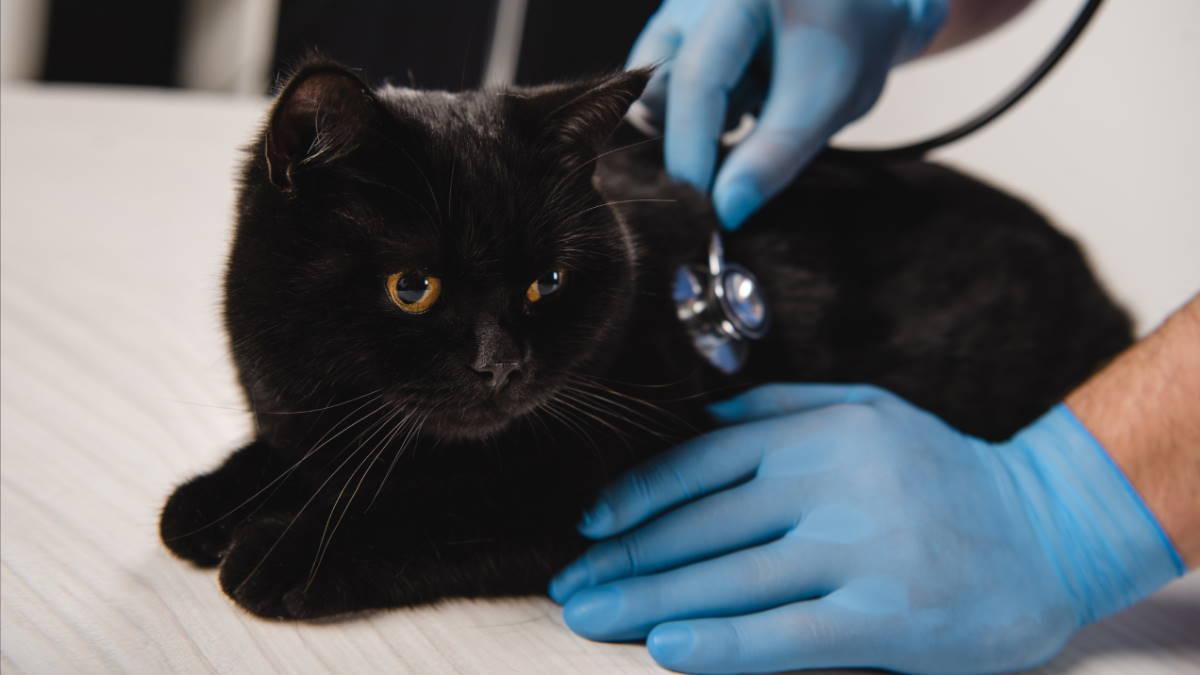 Кошка на приёме у ветеринара