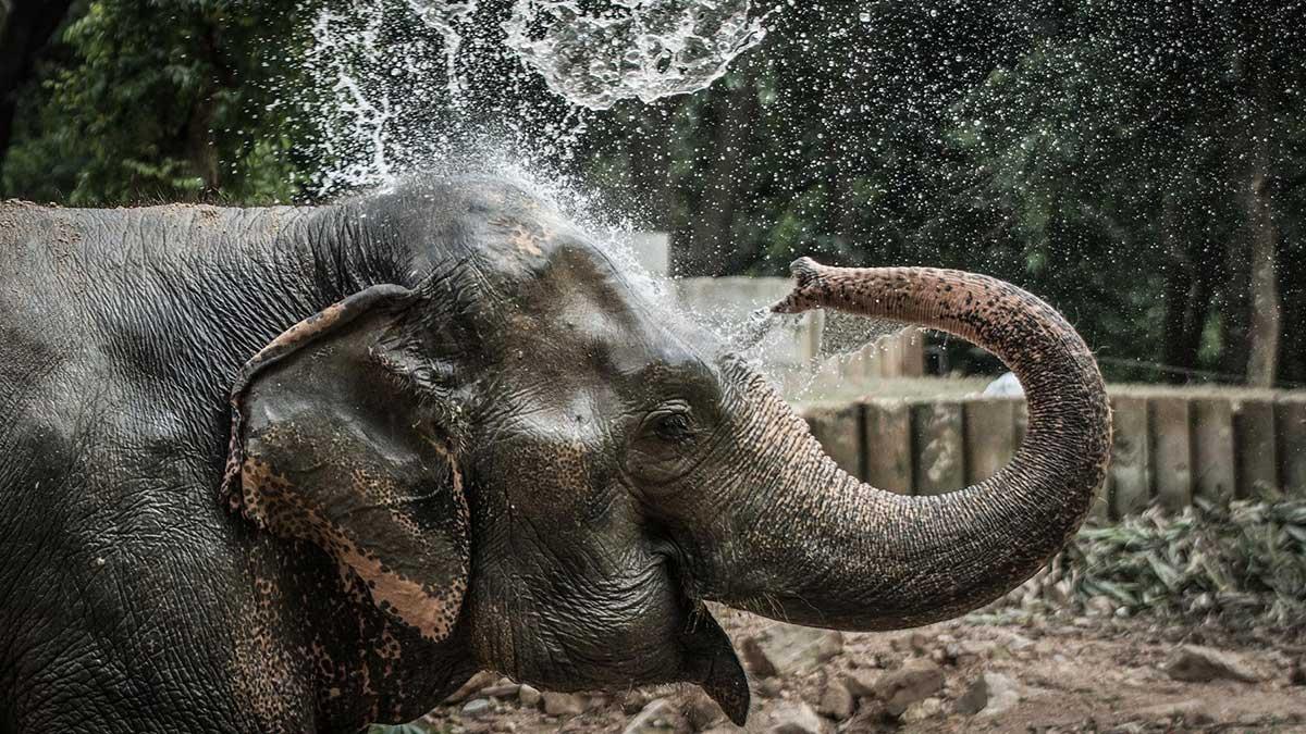 Тайский слон ежедневная ванна