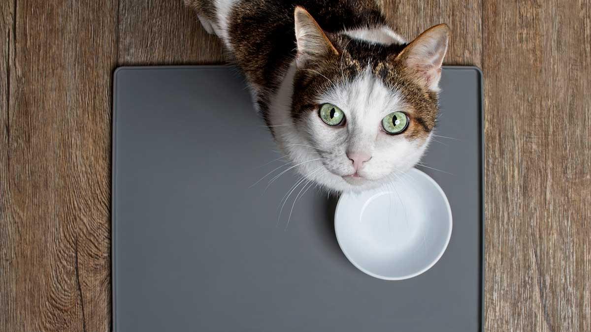 кот просит еда