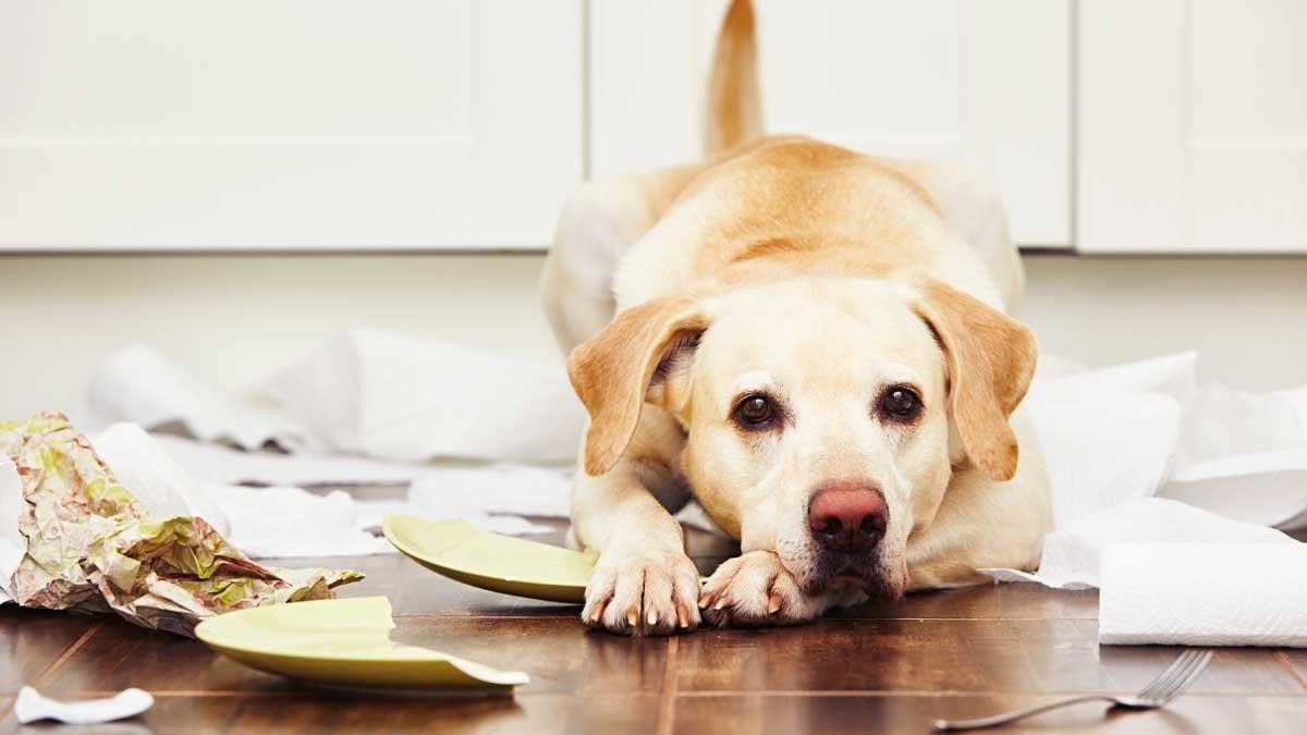 собака громит квартиру