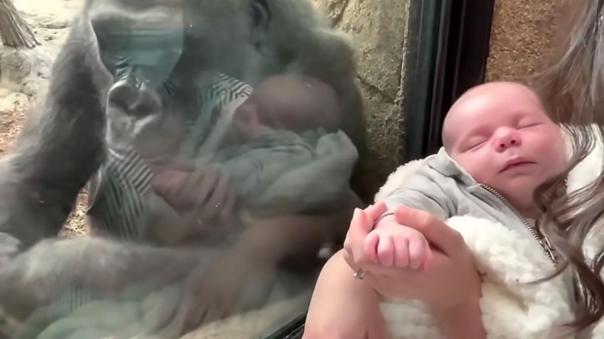 горилла общается с младенцем зоопарк