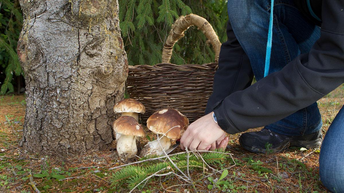 грибник срезает белые грибы ножом
