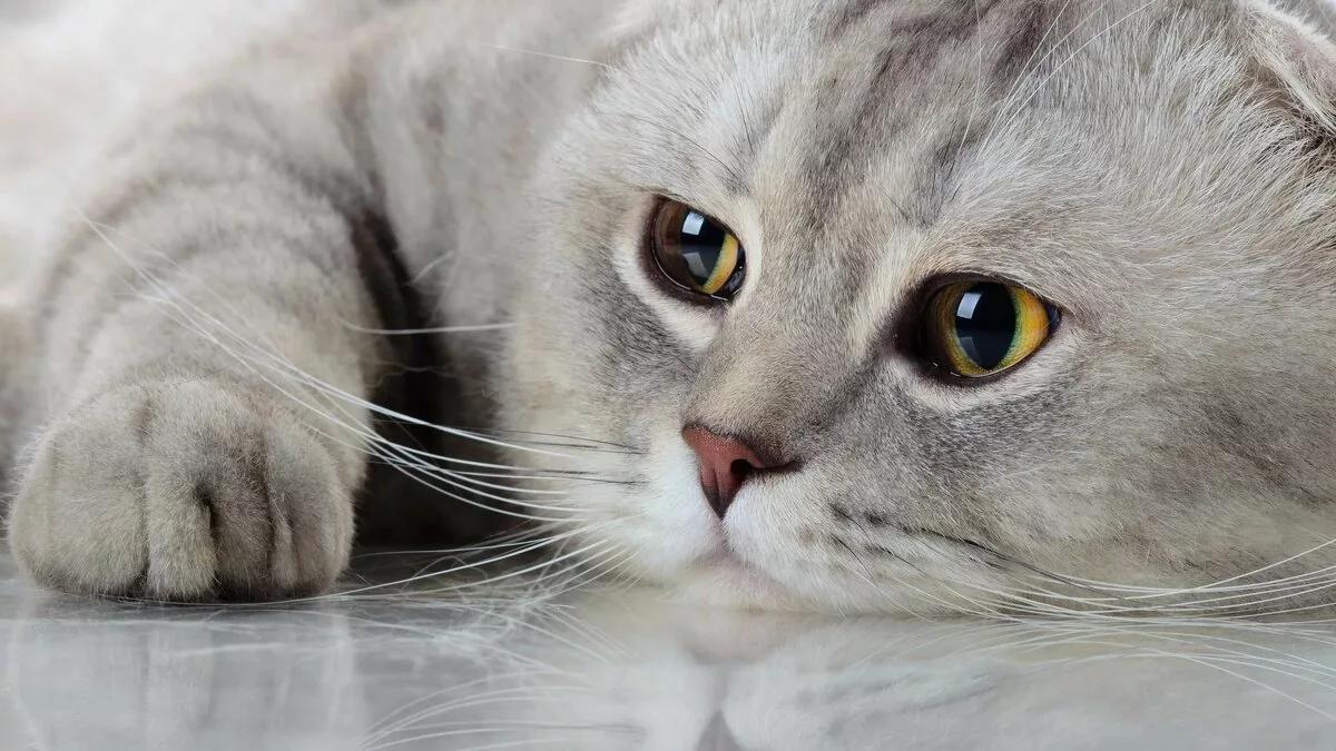грустная кошка лежит