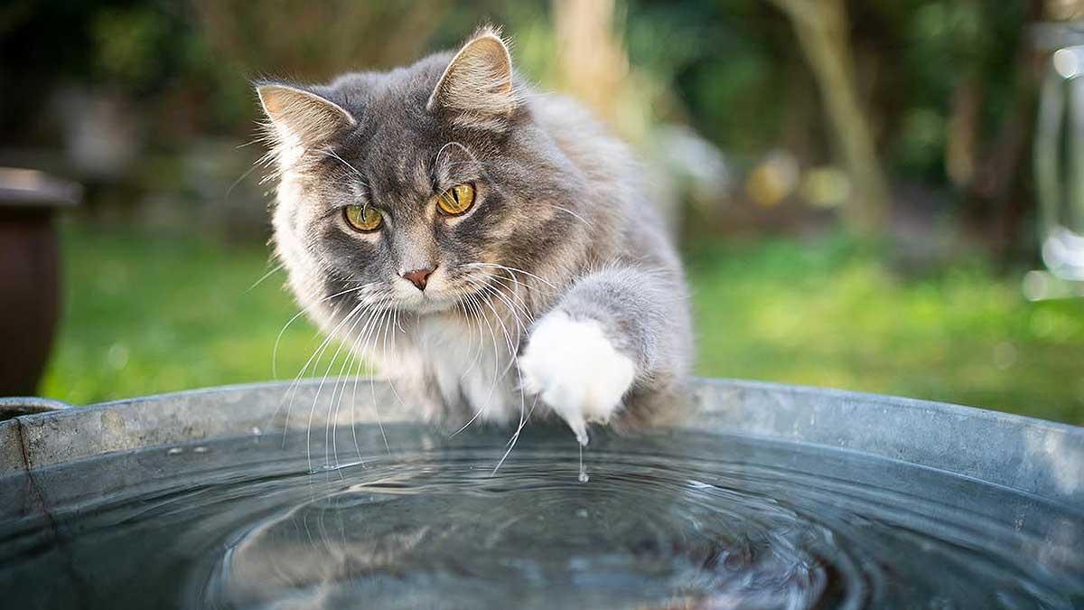 кот лапа ведро воды