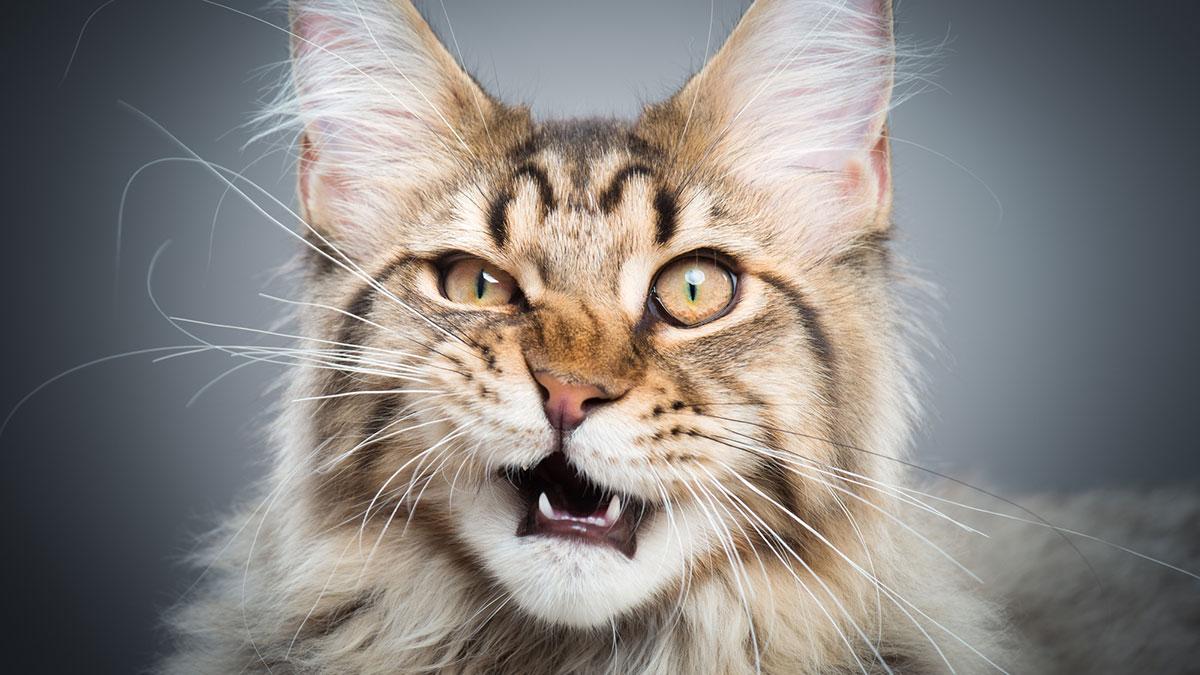 кот Мейн-кун усы