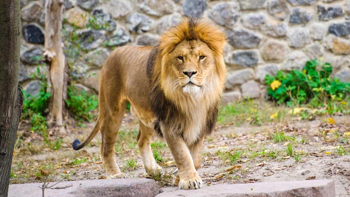лев зоопарк