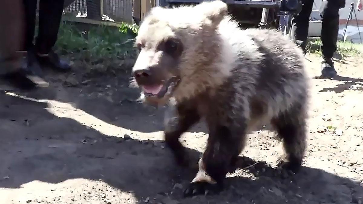 медвежонок из Чебаркуля