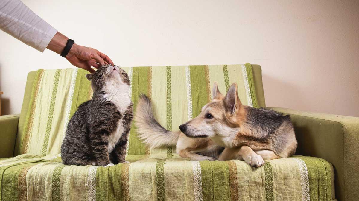 мужчина гладит кота собака ревнует