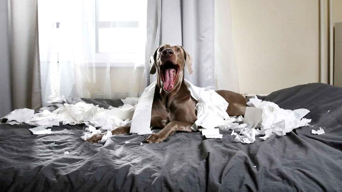 непослушная собака устроила беспорядок