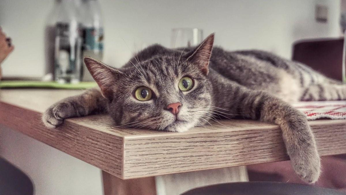 невоспитанная кошка лежит на столе