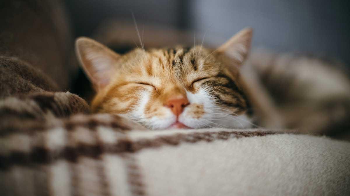 рыжая кошка
