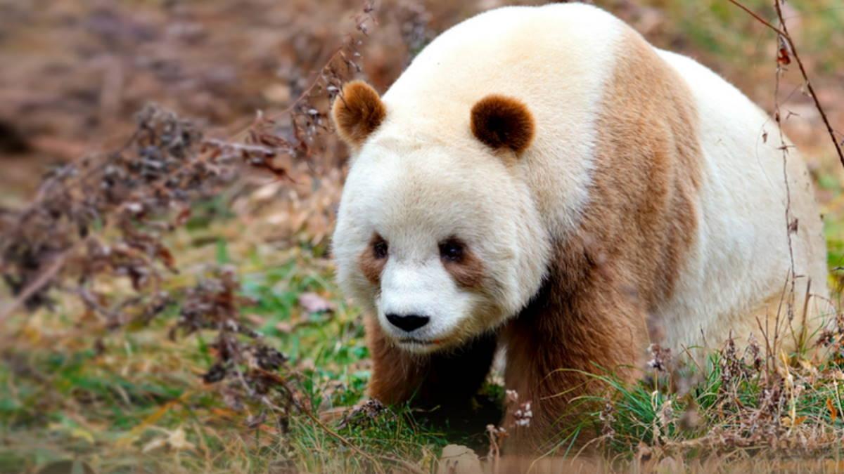 Коричневая большая панда